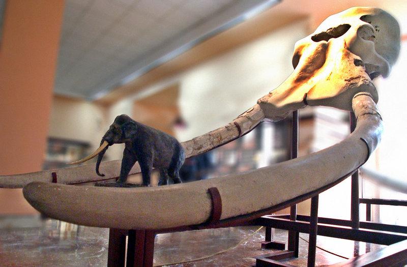 800px-Elephas_antiquus череп