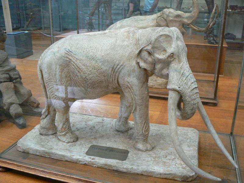 800px-Elephas_antiquus